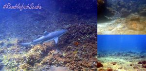 Blacktip reef shark Phi Phi.