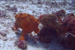 Frogfish at North Point Bay