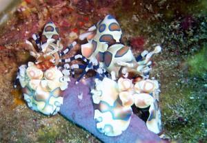 Harlequin shrimps Richelieu